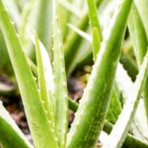 Aloe Vera.  An overview of this amazing plant.